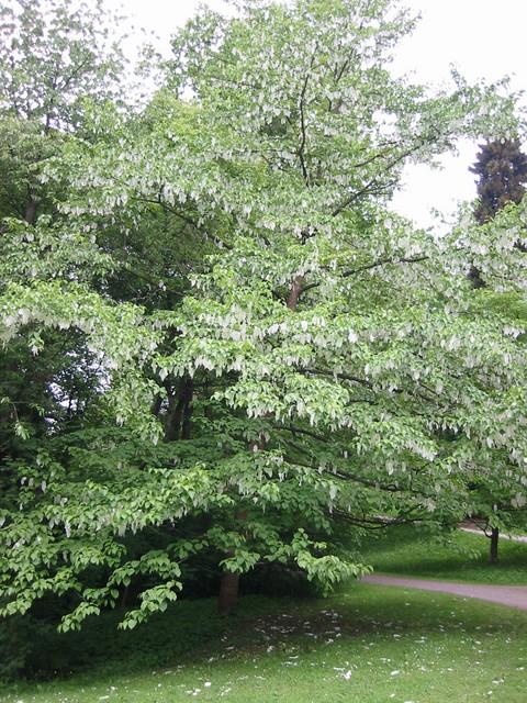 Kassel Taschentuchbaum 1