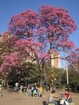 Cordoba Jacaranda