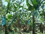 Bananenplantage in quirigua