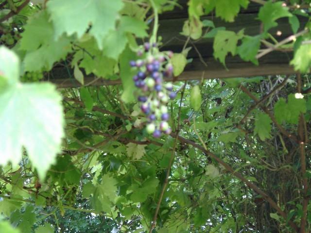 Garten uva 802 51