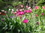 Tulpen im Mai