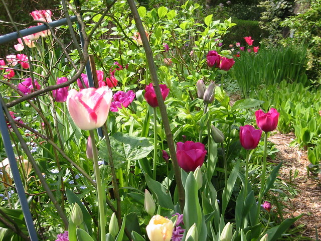 tulips in may