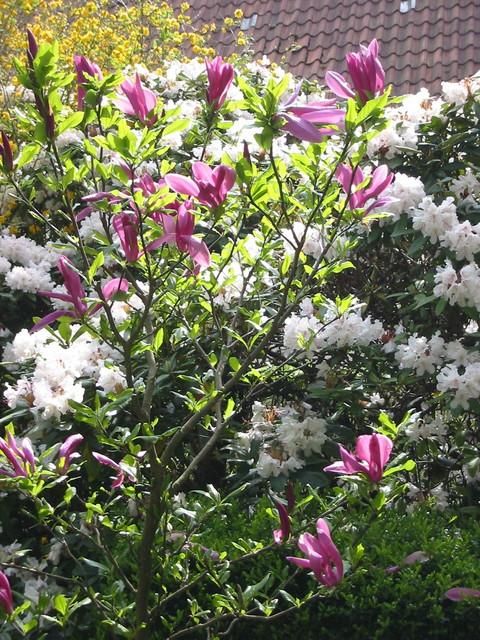 Rhododendron und Magnolienbaum