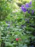 Juni: Glockenblume und Bartnelke