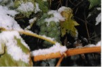 uvas con nieve