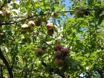 ramo de manzanas