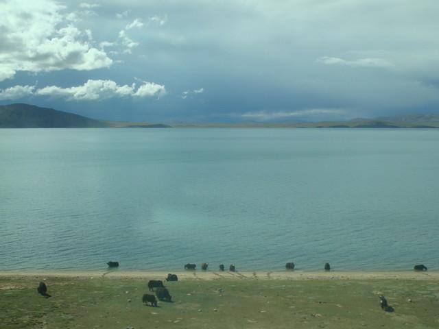 Fahrt mit der Tibetbahn: Yaks am See