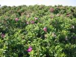 muchas rosas en el mayo