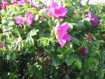 rosas florecen