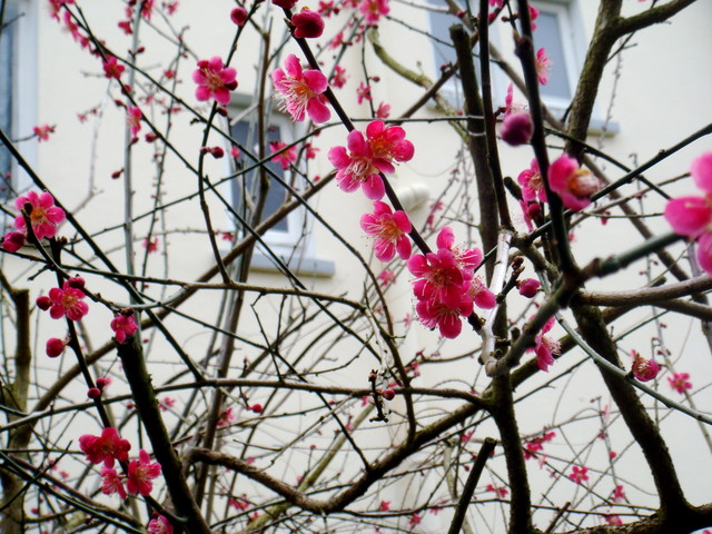 nectarina floreciendo