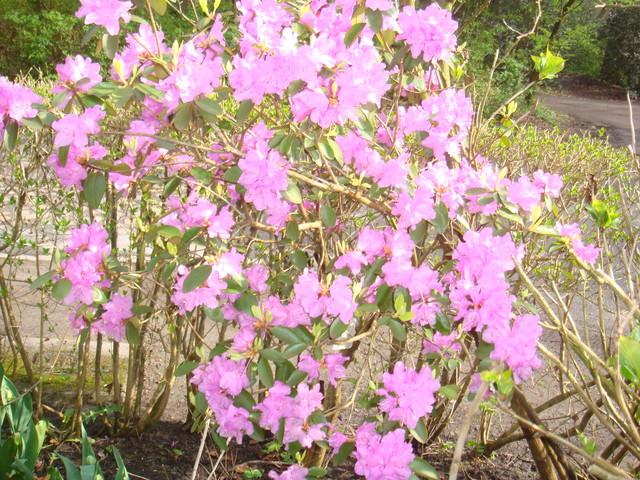Azalea praecox