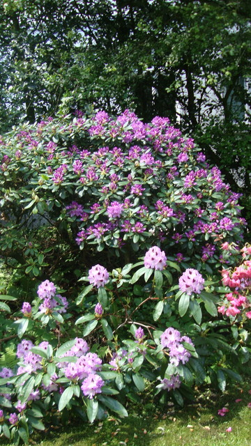 Mai 2013 Rhododendron