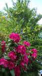 Mai 2013 Rhododendron und Rotdorn