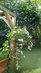 Clematis rubens montana