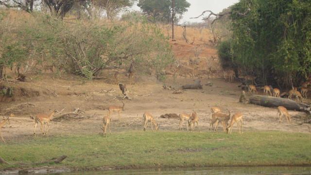 chobe River Impalas