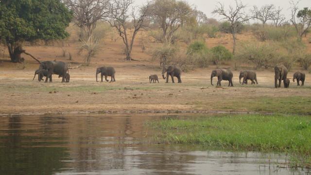 Chobe River Elefantenherde