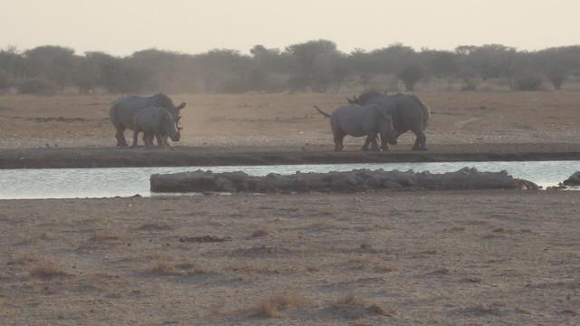 Rhinos an der Wasserstelle