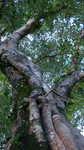 banyam Canopy - walk