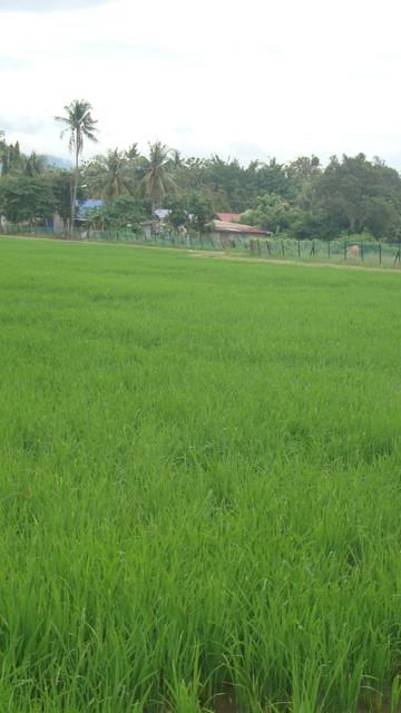 Reisfeld auf Langkawi