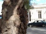 Arbol de Pepino en la plaza de armas en Copiapo