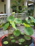 Lotospflanze