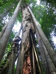 Baumriesen mit Lianen im Khao Yai Nationalpark
