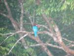 Eisvogel im Khao Yai
