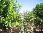 Weinfelder bei Ovalle