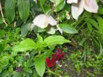 Christrose im Mai