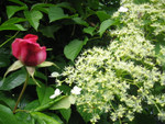 Rose und Kletterhortensie