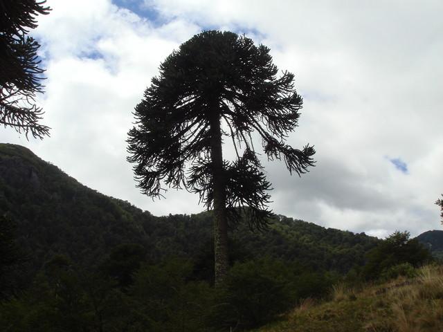 Araucaria cerca de la montana Lanin