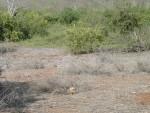 male land iguana