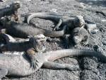 Marine Iguanas auf Galapagos