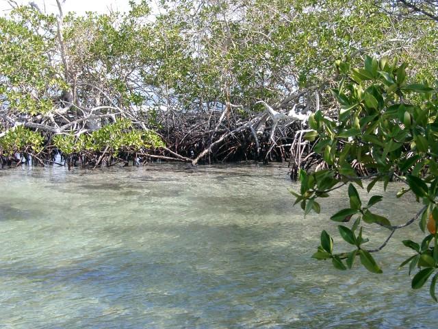 Mangroven auf Galapagos
