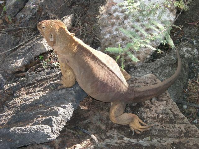 Land-Iguana