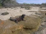 marine iguana2