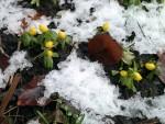 Winterlinge Ende Januar