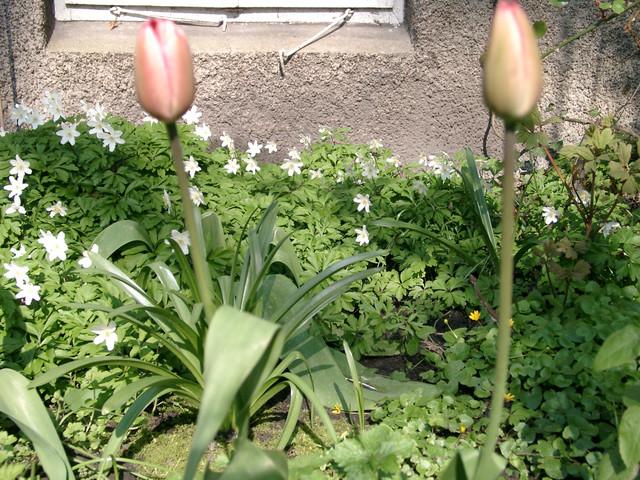 erste Tulpen